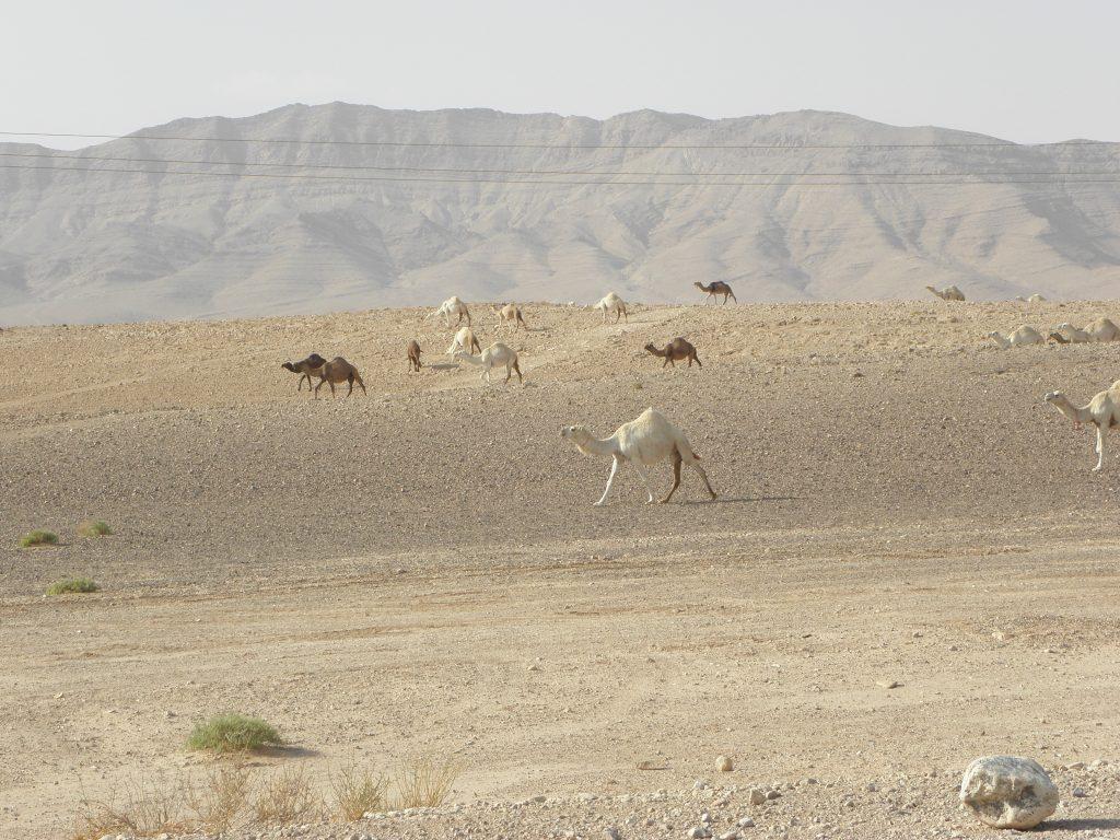 Syrie kamelen langs de weg