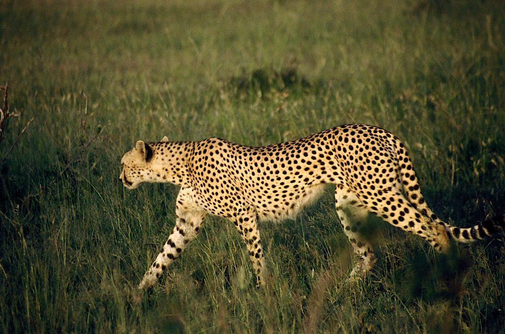 Cheetah, Afrika