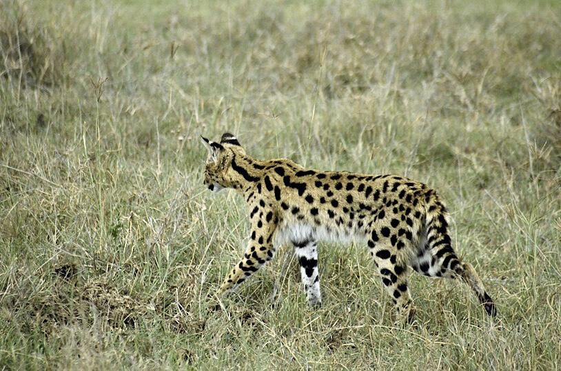 Small five, Kenia en Tanzania